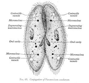 What type of asexual reproduction does a paramecium use